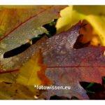 Fotostrecken / fotografische Serien - Nasses Herbstlaub