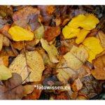 Fotostrecken / fotografische Serien – Nasses Herbstlaub