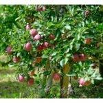 Prachtäpfel