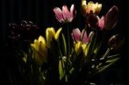 Schön Alt - Tulpen - Foto Frank Seeber - dscf2224