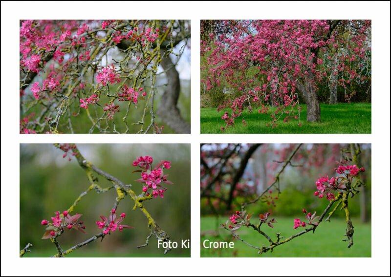 Chõwa - Kira Crome Fotos Kirschblüte