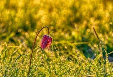 Schachbrettblume - *fotowissen Bild der Woche - Foto: Momentknipser